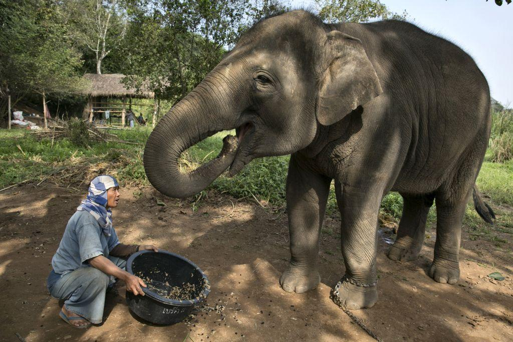 Thai mahout Lun serves a coffee bean mixture to an elephant at an elephant camp at the Anantara Golden Triangle resort. Black Ivory Coffee, started by Canadian coffee expert Blake Dinkin, is made from Thai arabica hand picked beans and created from a process where the beans are naturally refined by a Thai elephant.