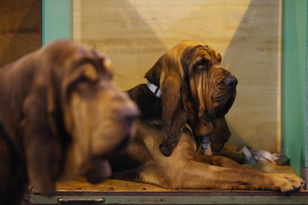 BIRMINGHAM, ENGLAND - MARCH 07:  Dogs relax after being shown on the first day of Crufts dog show at the NEC on March 7, 2013 in Birmingham, England. The four-day show features over 25,000 dogs, with competitors travelling from 41 countries to take part. Crufts, which was first held in1891, sees thousands of dogs vie for the coveted title of 'Best in Show'.  (Photo by Oli Scarff/Getty Images)