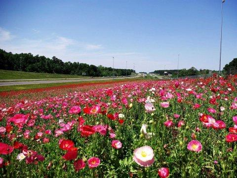 flowers between I-565 & highway 20 in madison county in Alabama