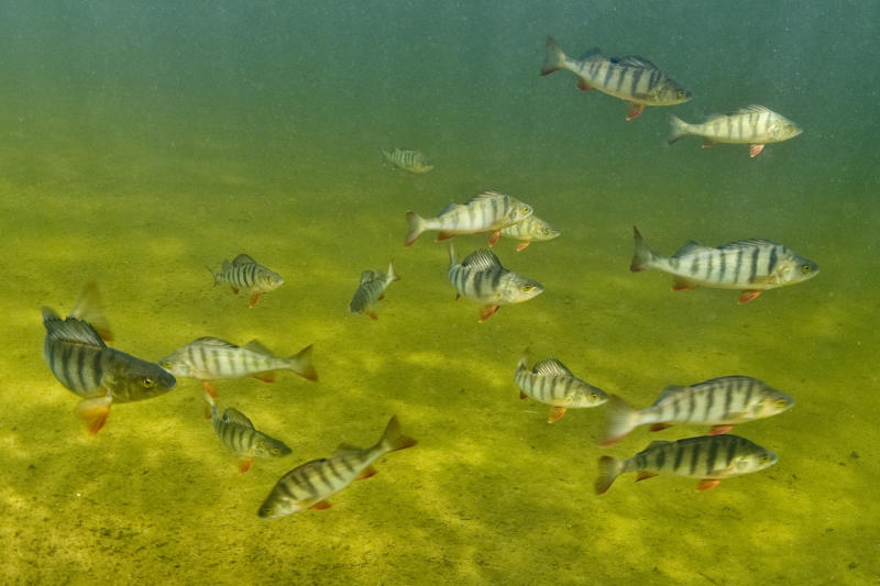 Study: Fish in drug-tainted water suffer reaction