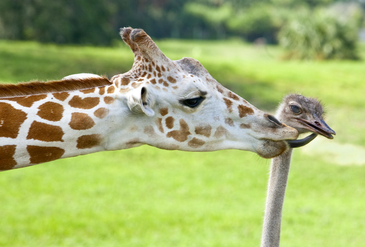 In 2009, zookeepers at Busch Gardens in Tampa, Florida noticed that Bea the giraffe and Wilma the ostrich were spending a lot of time together!  (Photo credit: Associated Press)