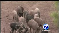 Feral pigs a problem in rural New Mexico