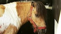 Ponies From Veteran Rehabilitation Center Attacked by Stray Dogs
