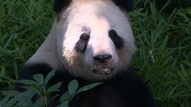 National Zoo Curator Brandie Smith: How to Make a Baby Panda