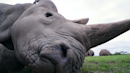 Poachers forced this rhino subspecies to two. Scientists are in a race to save them.