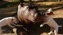 Orphan Hippo Befriends Dogs