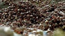 Epic Hermit Crab Migration Captured on Camera
