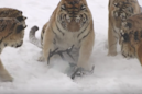 Video of 'chubby' tigers taking down a drone may be way darker than you think