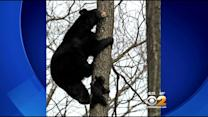 Mother Bear Teaches Cubs To Climb Trees In N.J. Neighborhood