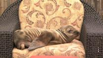 Sick sea lion pup checks in to California hotel