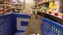 Capybara Rides in the Shopping Cart at the Pet Store
