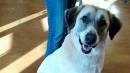Loyal Dog Walks 20 Miles, Twice, To Get Back To Owners Who Gave Her Up