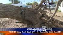 Large Tree Uprooted by Windy Weather in Palmdale