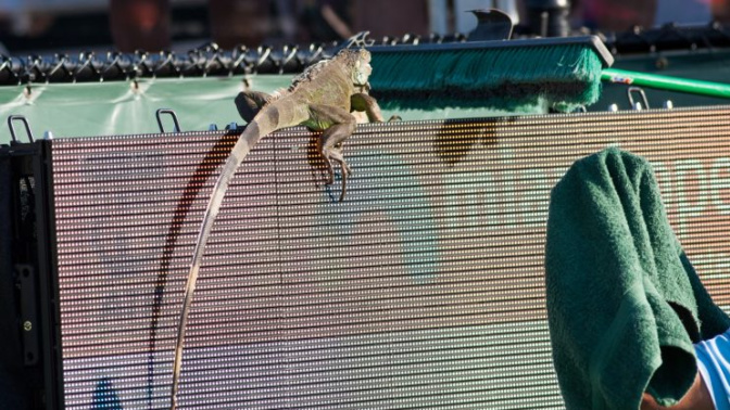 Rogue iguana interrupts Miami Open match