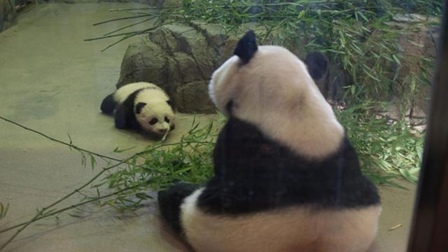 Bringing Up Baby: A Tour of Baby Panda Bao Bao's Crib at the National Zoo
