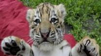 Cute Siberian Tiger Cubs Playing