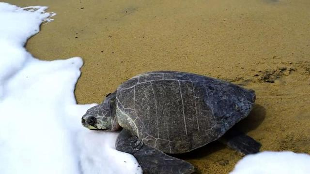 Thousands of sea turtles lay their eggs on Mexico beach