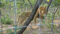 33 Rescued Circus Lions Get a Chance at a New Life