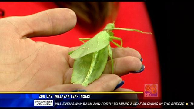 Zoo Day: Malayan leaf insect