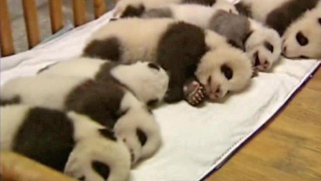 Birthday celebration held for giant panda cubs