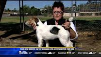 Two new breeds in the running for Westminster top dog