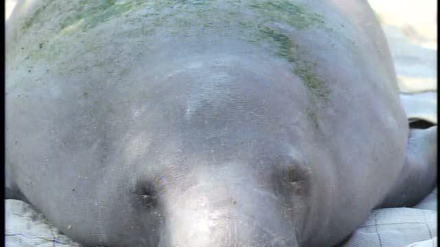 Researchers work to find manatee recently released