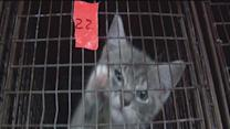 The Humane Society of Tampa Bay sterilizes 100 cats per week in feral cat program