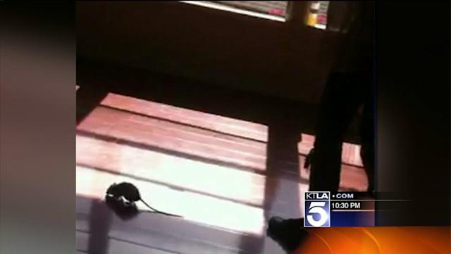 Woman Fights to Get Rats Evicted From Apartment Building