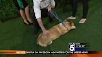 Famous Corgi, Corgnelious, Plays With Little Brother