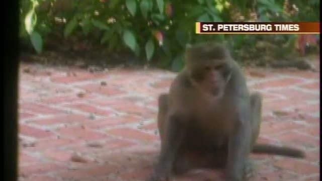 Tampa Bay's mystery monkey back in spotlight