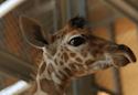 April The Giraffe 'Bit Moody' As Labor Delayed