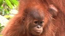 Sumatran Orangutan Home Under Threat
