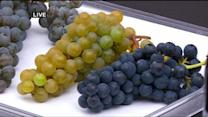 St. Croix Vinery Talks Cold-Hearty Grapes
