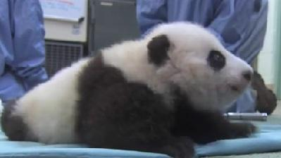 Adorable Panda Takes First Steps