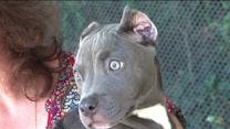 Pit Bull Puppy Suffered `Horrific` Chemical Burns