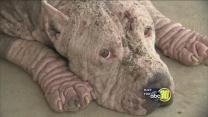 Fresno police seek owner of abused pit bull