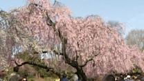 A Cherry Tree Grows Blossoms in Brooklyn