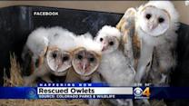 Cute Baby Owl Alert! Colorado Parks And Wildlife Rescues Owlets
