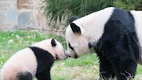 Bao Bao panda cub to be separated from mother at National Zoo