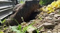Woodchucks Emerge From Underground for Popcorn