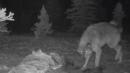 Wolf, Wolverine Fight Over Dinner in Denali National Park