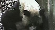 Raw: Panda Twins Born in China