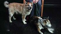 Blind dog and his seeing-eye companion are inseparable