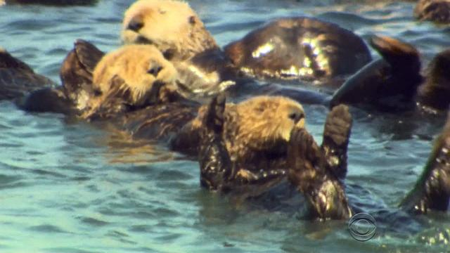Sea otters thriving off Calif. coast