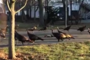 Turkeys ritualistically circling a dead cat is as beautiful as it is frightening
