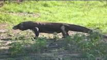 Probably as close to Komodo dragon as you want to be in wild