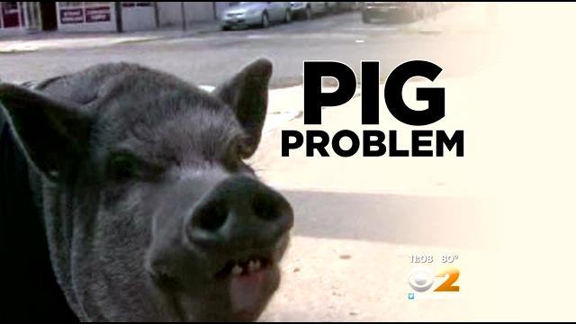 Owner Of Therapy Pig Says Four-Legged Friend Keeps Getting Ticketed