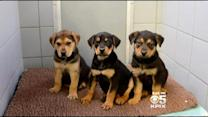 Puppies Found Abandoned In Marin County To Be Put Up For Adoption