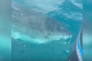 WATCH: 16-Foot Great White Shark Circles Fisherman's Boat
