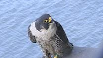 First Person: Baby Falcons on a New York Bridge